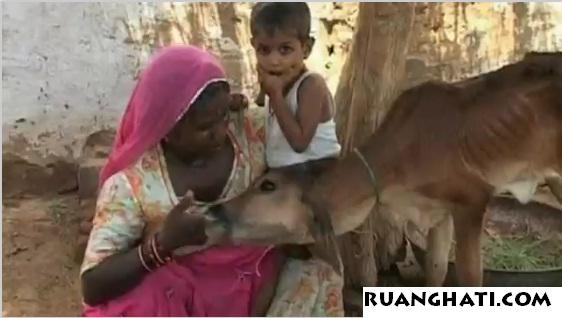 562 x 318 · 54 kB · jpeg, Gambar ] ibu menyusukan anak lembu…