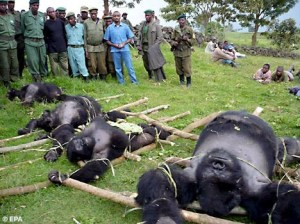 Nasib gorila yang malang